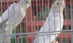 RARE AND HARD TO FIND EMERALD PEARL PASTEL FACE cockatiel 3 month old $150 firm an I have a regular orange cheek Emerald pearl for $125 3 month old.pick up only no shipping -732-881-7029
