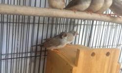 Please email for more info and current availability... all under 6 months old. Sold in group of 10 or more I have rare Zebra Finch mutations.... Black Cheek Pastel Cheek Pieds Fawn Blends
