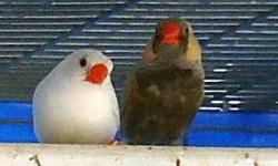 RARE Zebra Finches- every mutation. For current mutations and quantities please email me. I only sell 10 or more at a time. $12 each for less then 25, $10 each for groups of 25 or more.