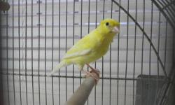 Selling a male raza espanola canary singing really nice and a vintage hendryx cage in very good condition, canary and cage $125. Call or text (862)703-9044