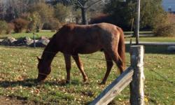 Coming three year old red roan QH/Arabian gelding! Large pony sized at this time. He has been started with ground work. Lounges, has had tack on, bridle and saddle but has not been cinched up and has had lots of desensitizing work done...He would be best