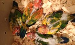 have several red factor sun conures and normal from red factor male and really yellow hen. they are closed banded with year on band, being hand fed three times a day.