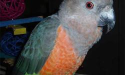 Taking deposit on a 3 week old red bellied parrot. Stop in and visit us at AJ's Pet Shop 19 N State St Elgin, IL 60123 847-695-5624 www.ajsfeatheredfriends.com Like us on Facebook! This ad was posted with the eBay Classifieds mobile app.