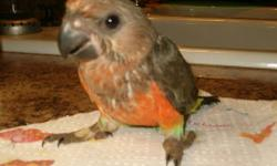 Lots of fun and loves to talk. Makes a wonderful pet and member of your family. I have had birds for many years but lost my email. New email, new address, new telephone number. 800 N hwy 10 Gore, OK 74435 918-489-2846