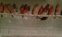 Many red and bronze canaries for sale. Also have Beaphar Intensief color. Call 347-617-3264 for more information. Canarios rojo y bronce para la venta. Llama a 347-617-3264 para mas informacion. Jaime
