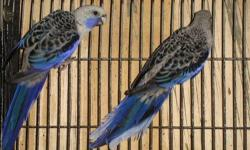 2 years old ready fully feathered and healthy call 619-316-1007 for more detail no time to check e-mail,,,,Text or call only please