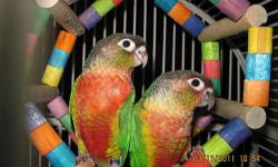 We have 2 babies handfeeding that are available for a deposit. These babies will have tons of color, great personalities, and are known for being the quieter Conure. Greencheeks are very active, playful, social pets with ample personalities. These babies
