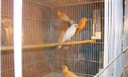 I have red factor females 2013 birds $40.00 each no cage laporte ind 219-879-9208