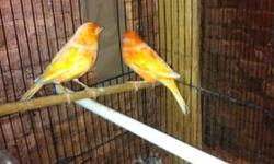 Beautiful young pair of red factors male just started singing like a soprano downsizing for the year, Male attempting to breed female not ready but will breed soon, $100 (203) 519-5247 Waterbury, CT