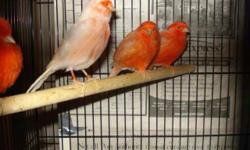 Some nice healthy red factor canaries available now for only 55 each