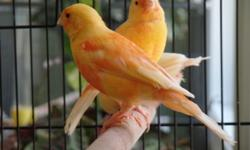 I have 2016 hatched red factor Canaries for sale.Their ages range from 4 to 5 months old, and are just starting to get their red plumage in. both males and females available.The males are excellent singers. I am asking $50 each. call or text, (931)