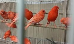 Red factor canaries for sale prices from $55 to $65 males and females available Please leave message and I will contact you as soon as possible Thanks.