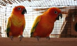 1 Proven Pair of Red Factor Sun Conure Pair. This pair last produced in the summer of 2012. Reason of sell- Downsizing and focusing on Blue Throat Macaws. If interested please call or email. Price is Firm for the pair.. Haven Aviaries (408) 843-6250