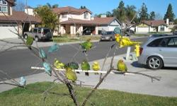 Many young kakariki's available now, handfed and super tamed for sale,,call 619-316-1007 ask for Lernel for more details,,