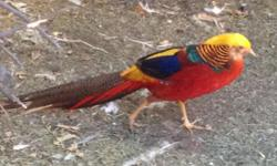 We have 2 juvenile male red golden pheasants left for $20 each or $30 for both. The males are just starting to get their colors. Males are magnificent when fully colored (the male in the photo is the father & he is not for sale).