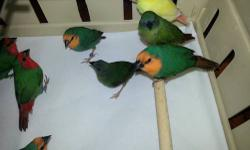 Young and adult parrot finches ready to breed Read headed pair ------------$160.00 Seagreen pair ----------- $180.00 Blue faced $100.00 each Juveniles blue faced ( no colored out yet ) $80.00 each Lutino blue faced $220.00 each Call or text 305-562-7906