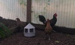 These are not chickens but in the pheasant family. It's believed that the domesticated chicken came from these birds. This is a beautiful adult trio. 1 male and 2 females. They have bred and produced before. Very healthy and fertile and rare. 300 for the