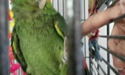 male red lored talks some shakes your hand steps up can be cranky and nervous at times 8-9rs old no cage $500