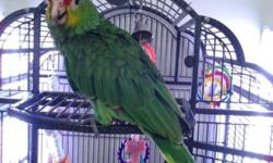 Beautiful red Lord Amazon parrot SHE.. is almost 4 mts. Old , DNA sexed has hatch certificate , even comes with food pellets and a cage she was hand fed and weaned onto pellets and fresh fruits and vegs. very sweet tame and already trying to talk..SHE is