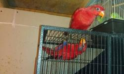 hi i have a few red lories parrots all ready tame. they have bin DNA texted. they are $650 each or $1,250 a pair. these birds are capable of talking and doing awsome tricks. they make great pets for kids. if your interested email me or text me asap. thank