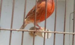 Red Lory. Not sexed. Excellent feather $500 909.730.3241 pic is of actual bird