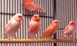 I have young, beautiful and healthy red mosaic canaries for sale. The price is $60 for a female canary and $75 for a male canary, with discounts given for the purchase of multiple birds. No shipping, pickup or local delivery only. I am located in