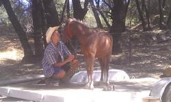 I have a beautiful red roan gelding with a flex mane & tail very fancy for sale. He will be two on 4-1-13. He has a great temperment and very smart and willing to learn and would make a great 4-H project!! He walks right in the horse trailer, stands for