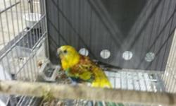 Lutino split rubino red rump male only 1 left .125 ready to breed ..