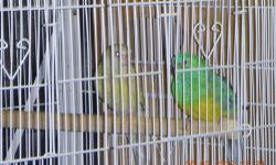 I have red rump parakeet for sale $30 each or trade for other bird if you interest call or tex 508-596-2908
