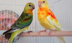 Red Rump Parakeets 12 weeks old, not sure of the sex, not tame, raised outside. Very healthy active birds Rubino (Yellow with Red) -$175.00 opaline - $75.00