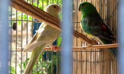 Two pairs of proven breeding Red Rump Parakeets. Both raised clutches in April. Pair 1 produced babies that were not the standard colors. 1 baby was almost blue, another was light yellow. $65 per pair Pair 1- male is a visual normal unknown split, female