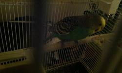 We have 2 red rump parakeets for sale. AJ's Feathered Friends Pet Shop 19 N State ST Elgin, IL 60123 Like us on Facebook!!! www.ajsfeatheredfriends.com
