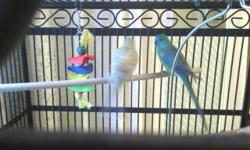 Male and female, about 2 years old, not related. Male is beautiful and sings all the time. Female likes to pluck but feathers are coming in again now. He adores her and feeds her and gives her much attention so they must stay together. No cage is included
