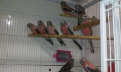 Have 3 red rump parakeets available. 2 males 1 female $75 each also have parents of these available. No shipping.