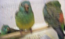 i have 5 red rump parakeets ready to go now $50 each thank you