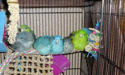 I have 2 hand fed Whiteface Cinnamon pearl and Cinnamon pied Cockatiels $100 each 4 young Red Rumps various colors $45 each Young Peachface Lovebirds Beautiful rare colors $45 and up Call Ruth 916-331-3000