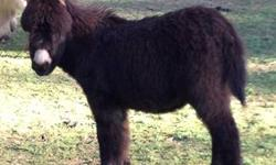 I have several miniature donkeys available for sale. From young foals to bred jennets........I can put together a herd price if you like. Colors include frosted whites & grays. Prices starting at $300. Call for details. Possible delivery for a small fee.