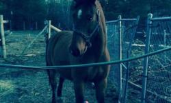 a morgan gelding for sale. hes a big baby and loves grooming and lots of attention. kids have moved away out of state . he needs a new spoil home please, some tack can be included... for a person who knows horses and can ride. hes a good keeper. call for