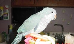 English Budgie, violet blue, male, asking $10.00 cash only.