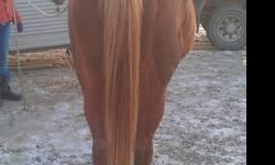 Very well bred Arabian mares. Purchased for premium price as yearlings. Shown in halter & won big futurity. Owner passed away. These two sweet mares would make a great 4h project. Not broke to ride. However they are broke in hand. Price is determined by