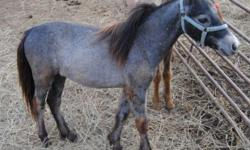 """Schulz's Majestic Thunder is an AMHR 28"""" Black roan Miniature Stallion. He comes out of Hall of Fame bloodlines and is bred for driving. If you are looking for a little guy that the kids can show 4-H or the miniature shows he will make a wonderful little"""
