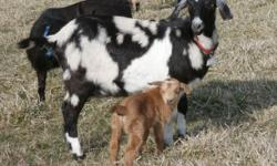 Several adorable bucklings available for pet (neutered) $150 or Registered with papers intact breeding prospects $250. ALL have been disbudded, vaccinated, wormed and tattooed. Weaning at 8 wks of age, some ready now. Photos are samples of some of this