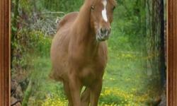 Reg. Arab Chestnut yearling filly. Should mature around 15hh. She is will be an awesome mount...but I do not see how I will be able to work with her at all. To a good home only!! Contact me to set up a time to come see her.. Willing to trade for tack,