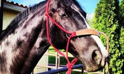 Registered American Saddlebred mare 15 years old green-broke. Wonderful disposition and very sound. Absolutely GORGEOUS. Sad to see her go, but we've downsized and can't have a horse on our new property. Please make me an offer. This ad was posted with