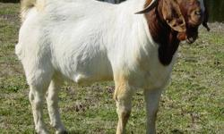 Gorgeous traditional colored boer buck. Has 5 ennoblements in his pedigree. Great bone and muscling on this guy. He can add length to his offspring. He is a nice buck! We also have many registered and a few nonregistered boers from this year. All colors: