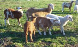 Registered Katahdin Ewe Lambs. We started lambing in Nov 2014 and just finished in Feb 2014. We have both Colored and White lambs available. We wean lambs at 75 days of age and they are eating hay & grain with gusto. All lambs will come with KHSI 100%