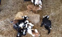 I have many babies available right now. All Clare registered with AGS and NDGA. You can see many pictures on my website www.duncancreekfarm.com. Does will be $200, bucks $100, wethers $50. Please email or text me for more pictures and info. Please do not