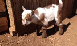 I currently have 3 Nigerian Dwarf bucklings for sale. They will be registered with both AGS and ADGA. They are between 2-3 weeks old and will be ready for new homes at 7-8 weeks old when they are fully weaned. They all have blue eyes and gorgeous