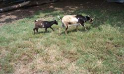 We are a farm specializing in small homestead animals. Currently have both Registered & non-registered Nigerian Dwarf Goats. 2012 bucks will make great herd sires; All were triplets and easy births. Does are great mothers and are still in milk. They are