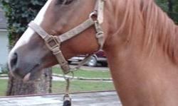 There is one registered paint mare for sale. Take a look at ?Darcey?s? pedigree. For $750.00, how could you go wrong? Mare ? ?Miss VR Tommy Red? ? APHA ? Foaling Date: 05/07/2001 - Red Dun - http://www.allbreedpedigree.com/miss+vr+tommy+red - $750.00